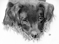 """Ziggy"" drawing by Lisa Acciai"