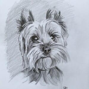 Sketch of a Yorkie - by Lisa Acciai