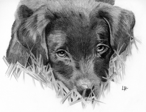 Ziggy – Labrador puppy