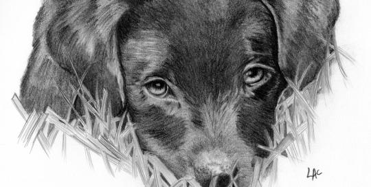 """Ziggy"" drawing by Lisa Acciai"