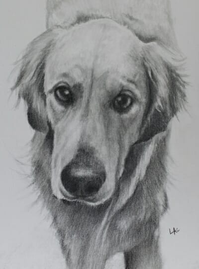 Golden Retreiver drawing by Lisa Acciai