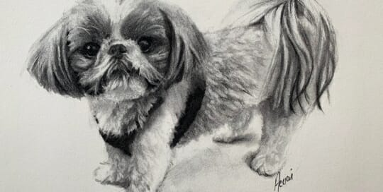 Chi-the Shih Tzu - charcoal-Lisa-Acciai