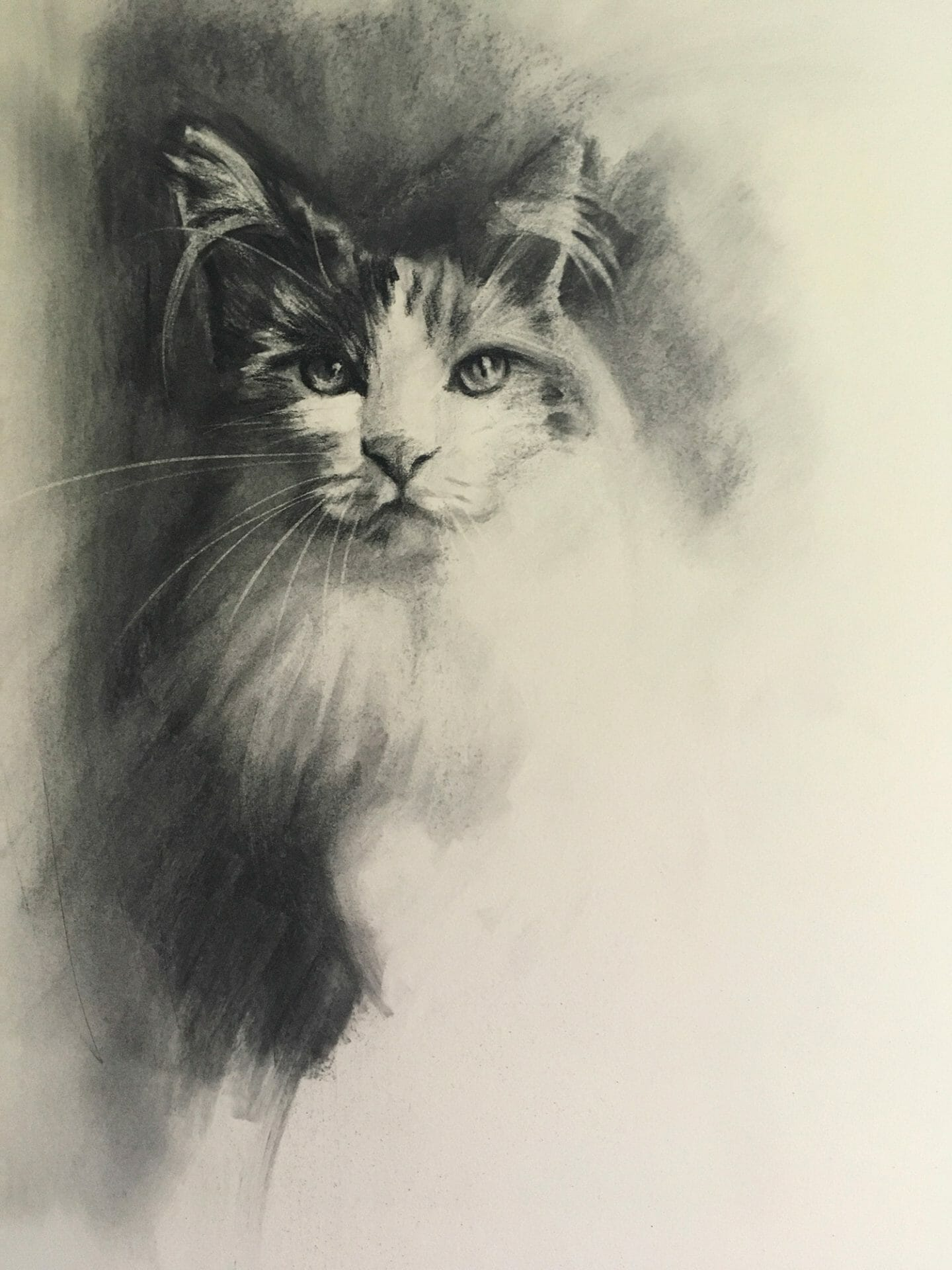 Cat study charcoal by Lisa Acciai