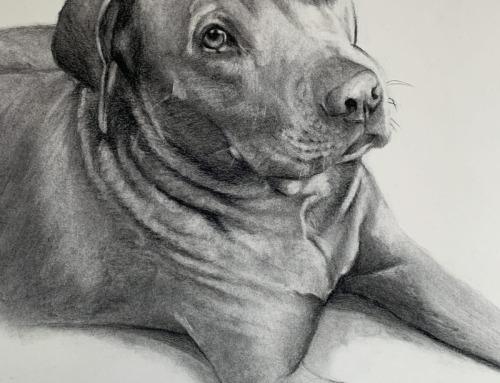 Dozer – pit bull