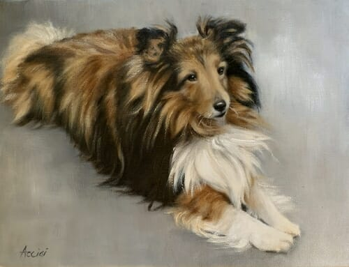 Duke – Sheltie