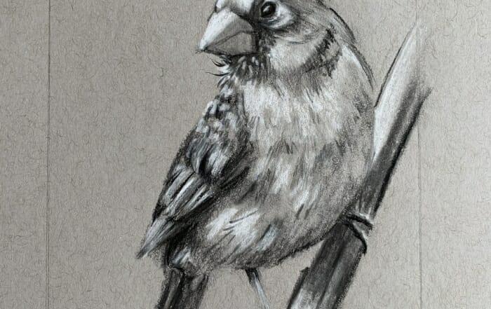 Female cardinal-sketch-Lisa Acciai